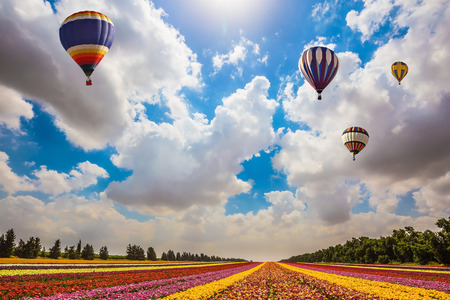 kibbutz: Israel spring. Huge field of blossoming garden buttercups. Above the flowers flying big bright balloons