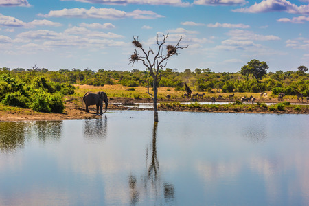 pachyderm: Small lake, to which the animals go to drink. Elephant, herd of zebras and a few giraffes. In the water, resting hippos. Animals in South Africa