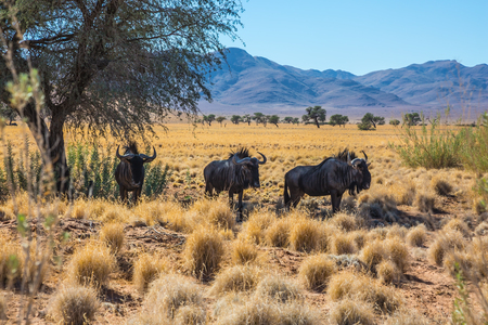 african wildebeest: Small herd of wildebeest grazing in the savannah. Dirt road in the African steppe. The concept of exotic tourism. Travel to Namibia Stock Photo