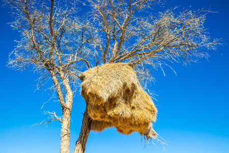 Red Namib desert in Namibia. On the tree it built a large nest bird - finch. The concept of exotic tourism Stock Photo