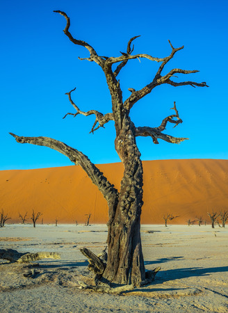 ecotourism: Ecotourism in Namib-Naukluft National Park, Namibia. Long evening shadows. The bottom of dried lake Deadvlei, with dry trees