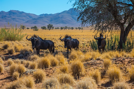 african wildebeest: Small herd of wildebeest grazing in the savannah. Dirt road in the African steppe. The concept of exotic tourism in Namibia