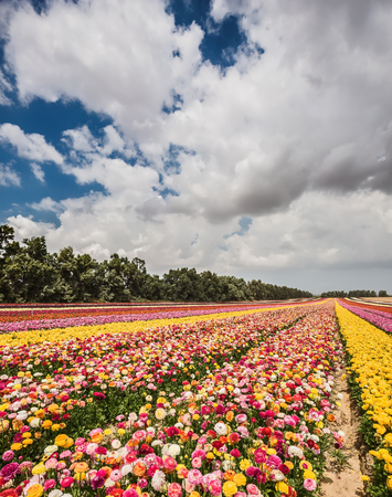 kibbutz: Israeli kibbutz. Huge field of blossoming buttercups. Spring carpet of flowers