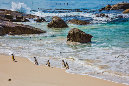 ecotourism: Boulders Penguin Colony in the Table Mountain National Park. African black-white penguins. The concept of active and ecotourism. Huge boulders on the beach of the Atlantic Ocean Stock Photo