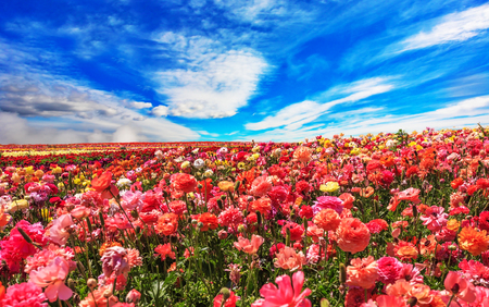 Picturesque field of the blossoming buttercups - ranunculus. Flowers are grown for export in the Nordic countries. Spring flowering garden large buttercups- ranunculus Stock Photo