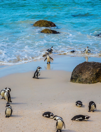 table mountain national park: Boulders Penguin Colony in the Table Mountain National Park. African black-white penguins. The concept of  ecotourism. The sandy beach on the Atlantic coast of Africa