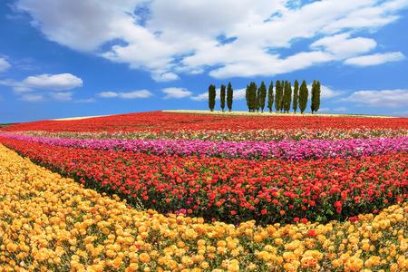 bordered: Cypress alley bordered by lovely flower field. Huge fields of garden buttercups ranunculus  ripened for harvesting