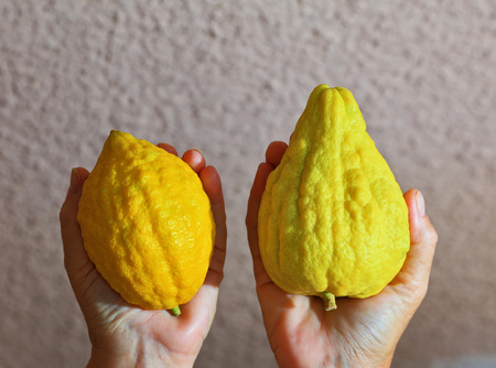 Womens hands holding the ritual fruit - citrus - etrog. Autumn holiday of Sukkot in Israel Stock Photo