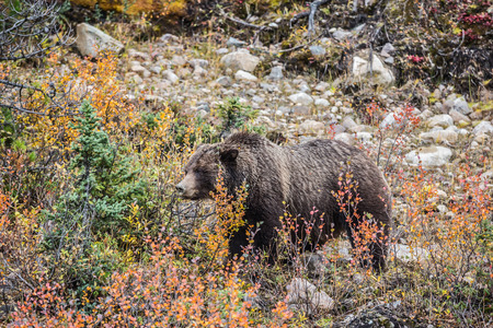 maldestro: The large brown clumsy bear goes on autumn wood in search of food. Jasper national park, Canada