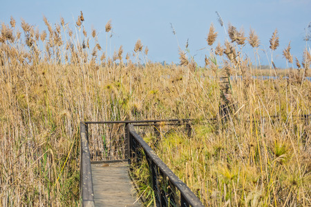 migratory birds: The narrow bridge to go among the marsh grass. Hula Nature Reserve, Israel, December. Lake Hula is a wintering place for migratory birds Stock Photo