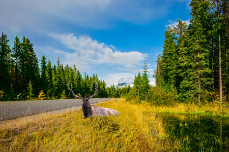 Large deer resting in tall grass. Canadian Rockies. Beautiful September day