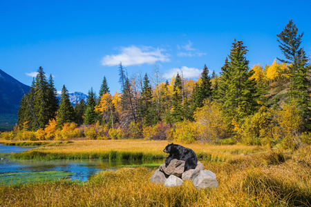 ecological tourism: Concept of ecological tourism. The huge black bear has a rest on stones at the lake. Indian summer in the Rocky Mountains of Canada