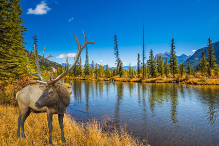 indian summer: The big red deer with branchy horns is grazed on bank of the lake. Indian summer in the Rocky Mountains of Canada.  The concept of eco-tourism