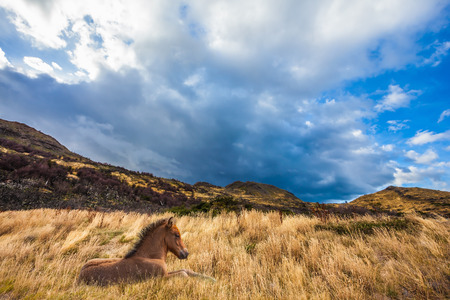 biosphere: Strong winds of Patagonia. The yellow grass resting horse. Chile, Torres del Paine National Park - Biosphere Reserve