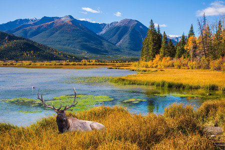 Indian summer in the Rocky Mountains of Canada.  The concept of eco-tourism. Big deer with branched antlers resting in yellow grass Stock Photo