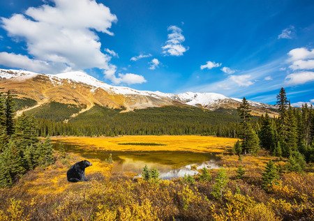 Waterlogged valley in the Canadian Rockies. A huge black bear resting on the edge of the pond.