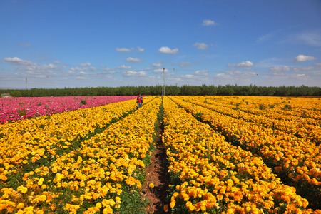 kibbutz: The magnificent garden buttercups. Boundless kibbutz field under yellow flowers. Stock Photo