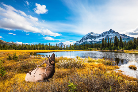 branched: The beautiful nature in northern Rocky Mountains of Canada. Red deer with branched antlers resting in the grass
