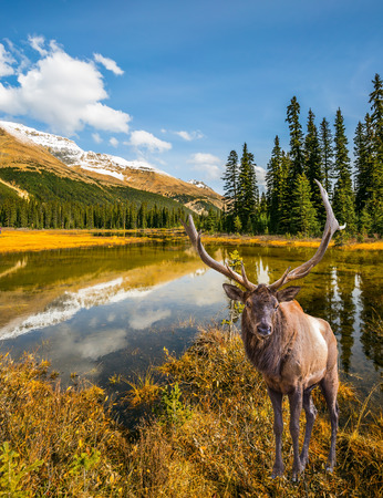 The beautiful nature in the northern Rocky Mountains of Canada. Magnificent red deer with branched antlers grazes in the grass near the water Stock Photo
