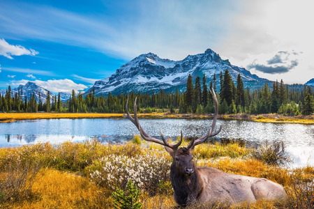 branched: Magnificent red deer with branched antlers resting in the grass.  Beautiful nature of the Rocky Mountains of Canada Stock Photo