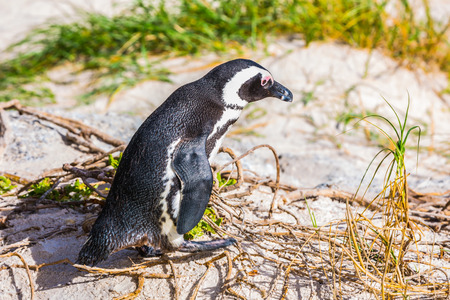 table mountain national park: Penguin on the sand. Boulders Penguin Colony, National Park Table Mountain. South Africa