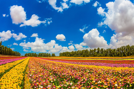 planted: Colorful field, planted with flowers. Garden buttercups bloom in bright colors. Walk on a sunny day. The concept of eco-tourism