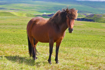 sleek: Warm summer day in Iceland. Farmer sleek bay horse with a light mane. Green lawn on the shores of the fjord