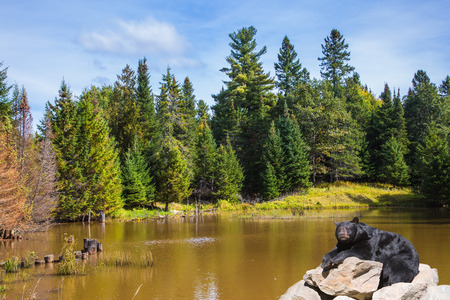 Wild animals in the Rocky Mountains of Canada. Magnificent huge black bear resting near the lake on a sunny day Stock Photo