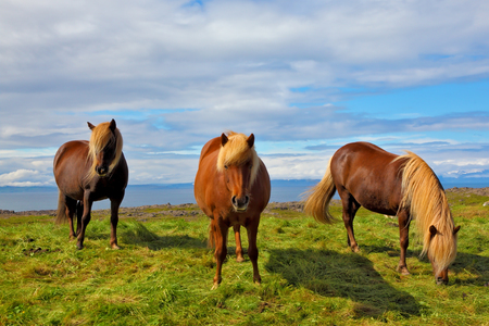 ranging: Three Icelandic horses on the shore of the fjord. Beautiful horse chestnut suit with white manes on free ranging