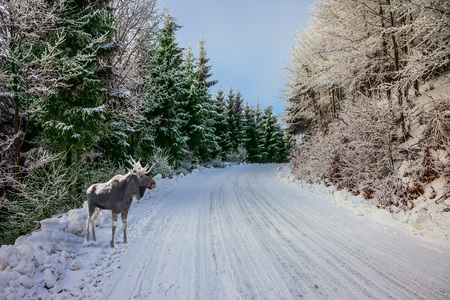 snowcovered: In the snow-covered coniferous wood a road for a skiing run. Christmas forest in the snow. Magnificent Moose went for walk