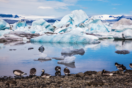 branta: Summer in Iceland. Magnificent summer morning in ocean Ice lagoon with floating ice floes. On coastal edge flock of birds - brents of Branta leucopsis