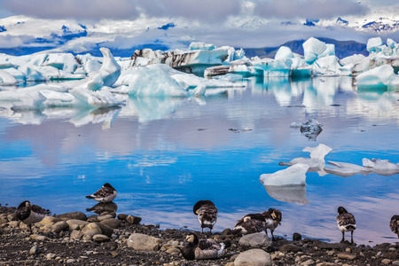 Magnificent summer morning in ocean Ice lagoon with floating ice floes. On coastal edge flock of birds - brents of Branta leucopsis. Summer in Iceland