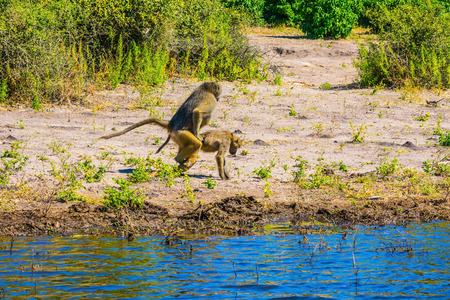 chobe: Two monkeys baboon at the watering. Botswana, Chobe National Park on the Zambezi River. The concept of extreme and exotic tourism