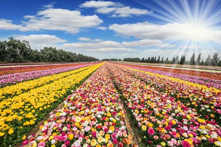 gaza: The suns rays shine from cumulus clouds. Flower kibbutz near Gaza Strip. Spring flowering buttercups