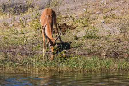 Watering animals in the Okavango Delta. Antelope - Impala. The concept of exotic  tourism in Africa. Chobe National Park in Botswana
