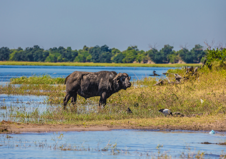 Watering large animals in the Okavango Delta. Buffalo - single. Chobe National Park in Botswana. The concept of extreme tourism Фото со стока
