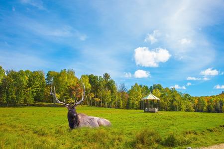 Safari Park Omega halfway between Montreal and Ottawa.  Noble big deer resting in the grass