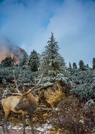 Red deer with branched antlers standing next to the road. The road and pine forest in the mountains are covered with the first snow