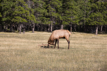pinches: The deer is grazed. The red deer with branchy horns pinches a grass on the fringe of the forest. Rocky Mountains in Canada