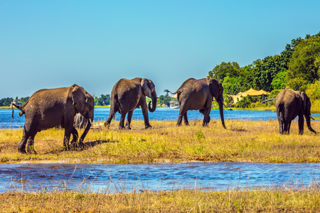 chobe national park: Herd of African elephants crossing shallow Delta Okavango. Watering in the  river. Chobe National Park in Botswana Stock Photo
