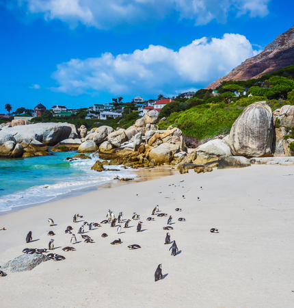 penguins on beach: Boulders Penguin Colony in the Table Mountain National Park. African black-white penguins. The sandy beach on the Atlantic coast of Africa. The concept of  ecotourism