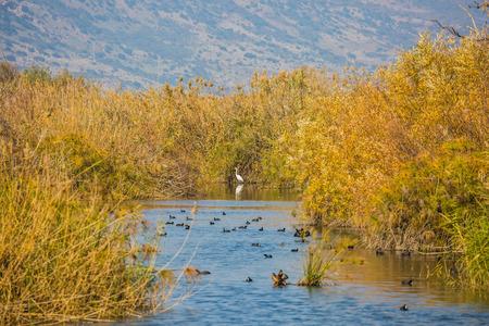 decembe:  Hula Nature Reserve, Israel, Decembe. Flock of waterfowl winters at Lake Hula