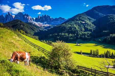 On the green grass hillside grazing cow.  Sunny day in Dolomites. Forested mountains surrounded by green Alpine meadows. The concept of an active and eco-tourism Stock Photo