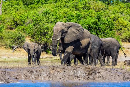 Okavango Delta: Large herd of African elephants at the watering. The concept of active tourism. River Okavango, Botswana, Chobe National Park