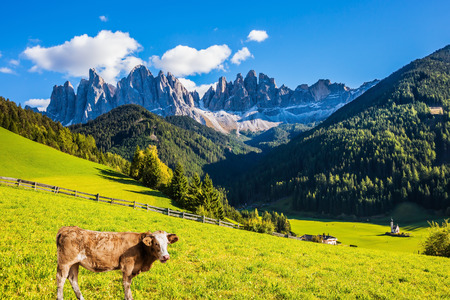 On the green grass hillside grazing cow. Sunny in Dolomites. Forested mountains surrounded by green Alpine meadows. The concept of active and eco-tourism Stock Photo