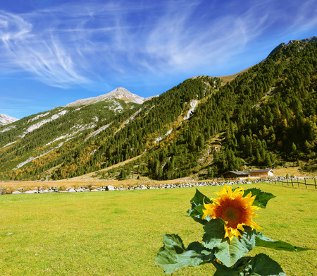Headwaters Krimml waterfalls. The sunflower grows in a well-groomed field. The Austrian Alps