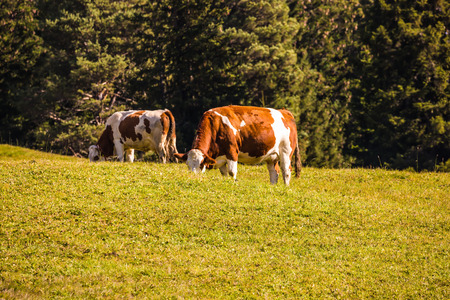 turismo ecologico: Farm Cows grazing on a grassy hill. Well-known international ski resort Alps di Siusi. Concept of active and ecological tourism Foto de archivo
