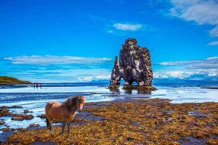 sleek: Sleek Icelandic horse wandered on the coastal shelf. The Basalt rock - Monster Hvitsercur during an ocean outflow. Concept of extreme northern tourism in Iceland Stock Photo