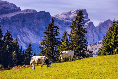 Farm Cows grazing on a grassy hill. Well-known international ski resort Alps di Siusi. Concept of active and ecological tourism Stock Photo