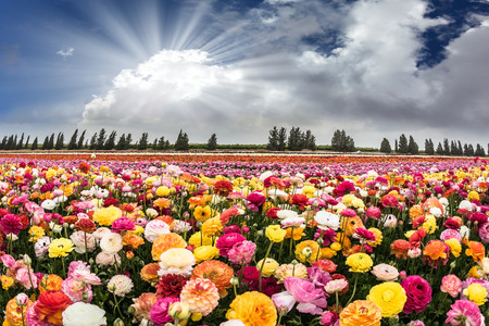 The suns rays shine from cumulus clouds. Flower Israeli kibbutz near the Gaza Strip